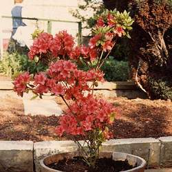 Rhododendron x hybrid native azalea Hybrid Native Azalea seed for sale